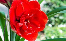 Фантастический цветок амариллис. Особенности выращивания
