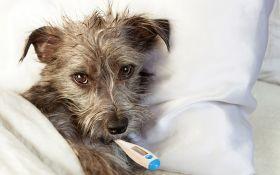 Может ли собака простудиться?