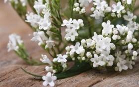 Целебная валериана: история происхождения, применение, выращивание и заготовка сырья