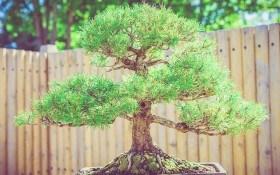 Как выращивать бонсаи из хвойных растений?