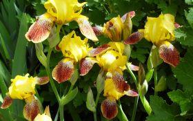 Удивительные ирисы: все о выращивании, видах и особенностях