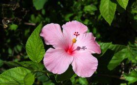 Размножаем гибискус: деление куста и укоренение черенка