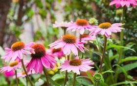 Целебная эхинацея: выращиваем, размножаем и заготавливаем