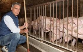 Инфекционные болезни свиней: распознаем и предотвращаем