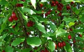 """Загадки """"шайтановой ягоды"""": выращиваем кизил"""