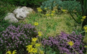 Аромат степу: декоративний та корисний чебрець у садибі