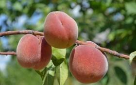 Американским сортам персика наш климат по нраву