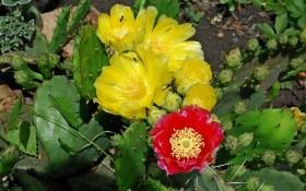 Принади кактуса: краса та користь екзотичної опунції
