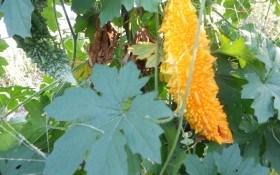 Огірок довголіття: особливості вирощування екзотичної момордики