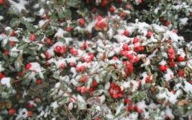 Яскраві ноти зимового саду: рослини, які зберігають декоративність в холодну пору року