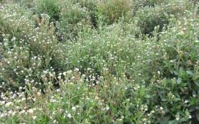Стевія, дарунок природи: посів, розмноження, вирощування культури
