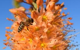 Еремурус: пустельний красень в наших садибах. Агротехніка, розмноження, види та сорти