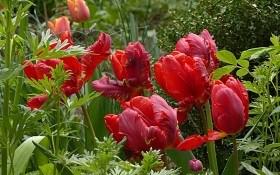 """""""Півонії"""", """"лілії"""" та """"папуги"""": класи і групи садових тюльпанів"""