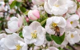 Секрети здорового врожаю плодових культур  на присадибних ділянках