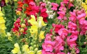 Антиринум або ротики садові у садибі: середньорослі, низькорослі та карликові сорти
