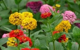 Яскраві маойри у квітниках: види та сорти цинії