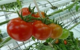 Тепло та турбота: особливості вирощування городини в захищеному ґрунті