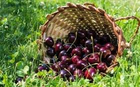 Заморські плоди: нові сорти черешні зарубіжної селекції