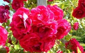 Плетіння невимовної краси: виткі троянди в дизайні саду