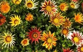 Яркий цветок гацания: сорта и виды