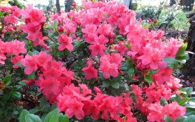 Ще більше краси! Насіннєве та вегетативне розмноження рододендронів