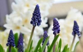 Зима з ароматом квітів: вигонка гіацинтів, крокусів, мускарі та інших цибулинних