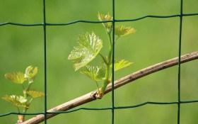Весна на винограднику: що треба зробити в перші теплі дні