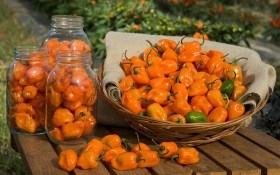 Нещадно гострий: вирощуємо перець хабанеро у горщиках та у відкритому ґрунті