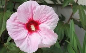 Історія любові: досвід вирощування трав'янистого гібіскусу
