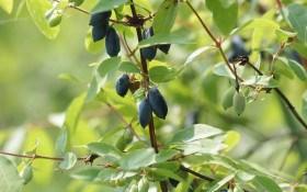 """""""Блакитні солодощі"""": варення, компот, желе, джем та пастила з ягід жимолості"""