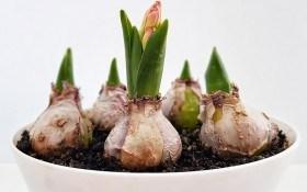 Тайная жизнь луковичных растений: мелколуковичные, клубнелуковичные и другие