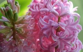 Чарівні гіацинти у садибі: технологія вирощування, посадка, підживлення, зберігання
