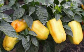 Выращивание рассады перца: все особенности процесса