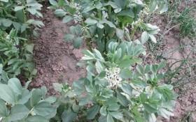 Бобова дивовижа: досвід вирощування чорної сої