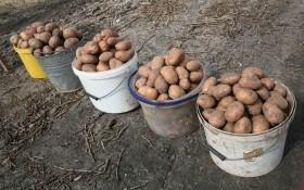 Картопля у кошику: найврожайніші сорти картоплі у 2020 році