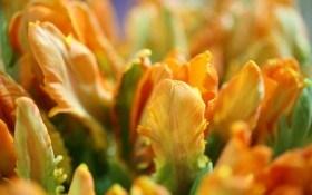 """Весну прикрасять """"попугайні тюльпани"""". Розпочинаємо підготовку квітників до наступного сезону"""
