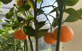 Вирощуємо мандарин в кімнатних умовах