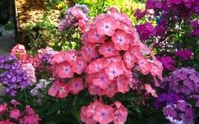 Тендітний аромат та соковиті кольори: флокс волотистий у квітнику