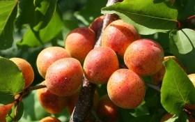 Що можна отримати з насіння: селекція абрикоса в аматорських садах