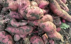 Невибагливий новосел: вирощуємо батат