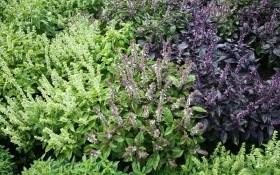 Витончений аромат: вирощування базиліку, види і сорти