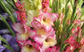 Величественный гладиолус: разнообразие сортов и форм