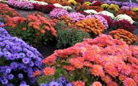 """Прекрасні """"кулі"""": розмноження та посадка хризантем групи мультифлора"""