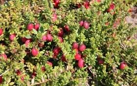 Продуктивні та невибагливі: сорти великоплідної журавлини для вирощування в Україні