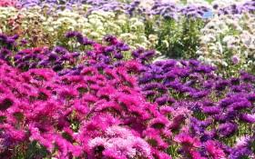 Всі барви каллістефусів: посів, вирощування, захист однорічних сортів айстри