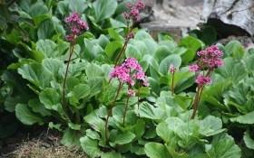 Потужне листя, ніжні квіти: бадан прикрашає садибу