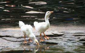 Домашние гуси. Как формировать гусиную семью?