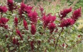 Амарант: растение с большим будущим