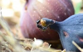 Під фіговим листком: особливості захисту інжиру від хвороб та шкідників