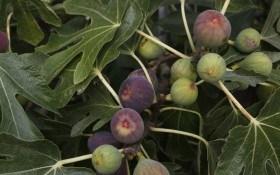 Особенности выращивания и ухода за инжиром в домашних условиях